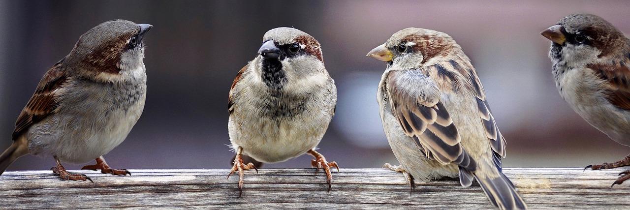 sparrows-2759978_1280